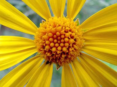 imágenes gratis flor,flores,naturaleza,margarita,vista de frente,p
