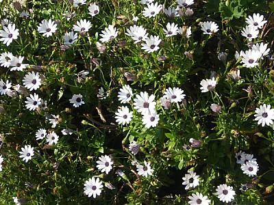prod04,flor,flores,naturaleza,margarita,margaritas