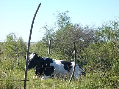 imágenes gratis argentina,corrientes,campo,escena rural,vaca,anima