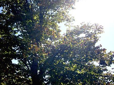 imágenes gratis arbol,naturaleza,hoja,hojas,vista de frente,sol,am