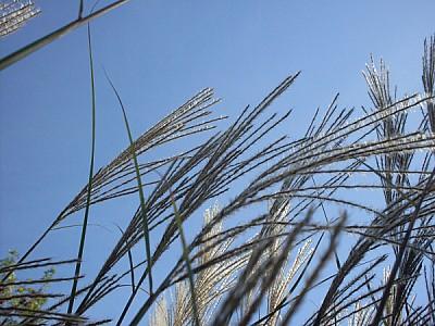 imágenes gratis campo,escena rural,yuyo,planta,plantas,espiga,vera