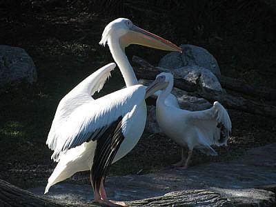 imágenes gratis pelicano,ave,aves,africano,africa,salvaje,aviar,pi