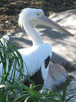 pelicano,ave,aves,africano,africa,salvaje,aviar,pi