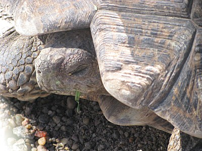 imágenes gratis animal,animales,tortuga,cabeza,caparazon,reptil,vi