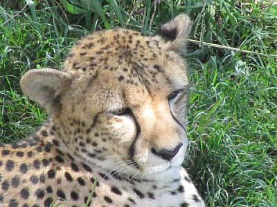 imágenes gratis animal,chita,felino,salvaje,primer plano,cabeza,tr
