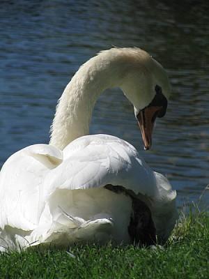 imágenes gratis animal,ave,blanco,pico,cisne,primer plano,cabeza,v