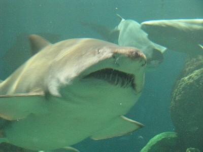 imágenes gratis animal,pez,tiburon,peligro,acuario,fuera de foco,p