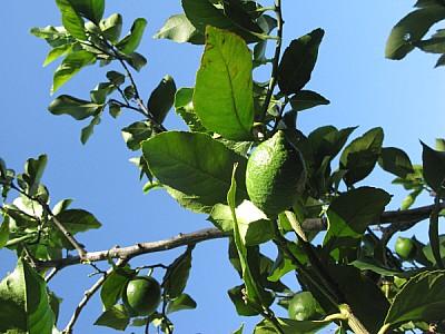 imágenes gratis limon,limones,limonero,agricultura,vista de frente