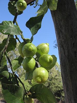 limon,limones,limonero,agricultura,vista de frente
