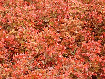 flor,flores,naturaleza,rojo,rojas,vista de frente,