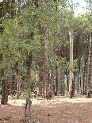 imágenes gratis bosque,bosques,pino,pinos,vista de frente,arbol,ar