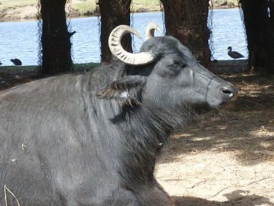 imágenes gratis animal,animales,cebu,cuerno,cuernos,negro,primer p
