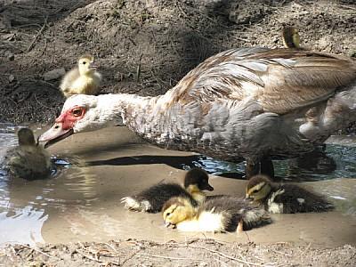 imágenes gratis Madre pato cuidando a sus patitos bebes