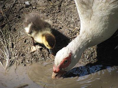 imágenes gratis Mama pato tomando agua con patito bebe