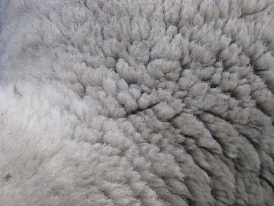 Textura de Lana Oveja