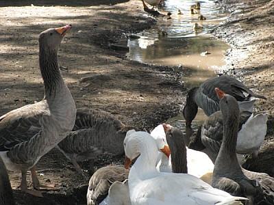 imágenes gratis Grupo de patos bebiendo sobre arroyo
