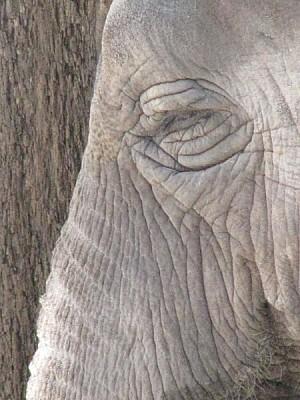 imágenes gratis textura cabeza de elefante