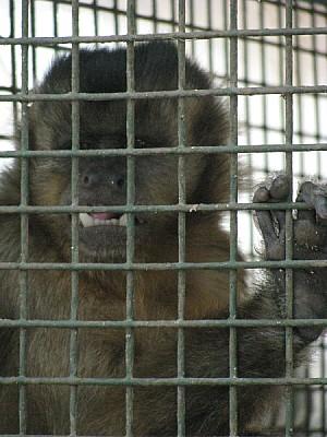 Monito encerrado en una jaula