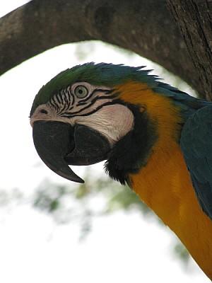 imágenes gratis animal,animales,fauna,salvaje,ave,pajaro,guacamayo