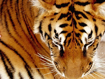 animal,animales,fauna,tigre,tigres,gato,felino,sal