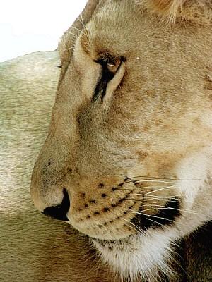 animal,animales,fauna,leon,leona,gato,felino,salva
