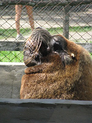 imágenes gratis animal,animales,fauna,marina,marino,lobo,lobo mari