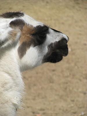 animal,animales,salvaje,alpaca,vicuña,llama,vista