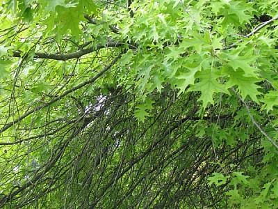 imágenes gratis exterior,fondo,background,verde,rama,ramas,vista d