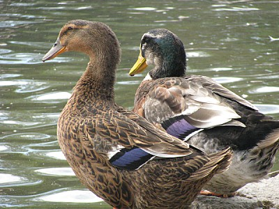 imágenes gratis Vista de dos patos en la costa