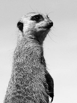 imágenes gratis animal,animales,suricata,observando,observar,miran