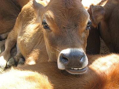 imágenes gratis animal,animales,vaca,vacas,ternero,ternera,vista d
