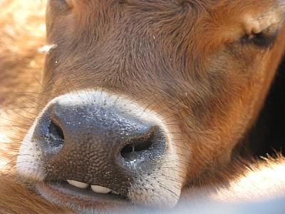 animal,animales,vaca,vacas,ternero,ternera,vista d