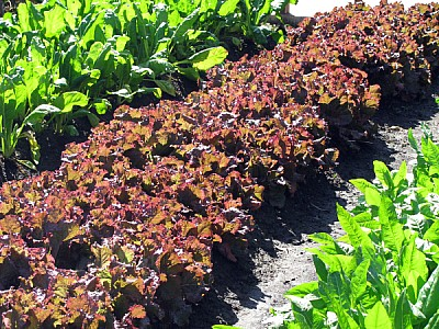 imágenes gratis cultivo,campo,escena rural,dia,exterior,verde,lech
