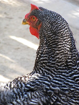 animal,animales,gallo,ave,aves,gallo,ave,avess,pel