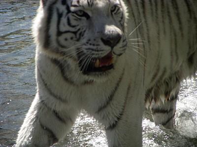 animal,animales,tigre,tigres,tigre blanco,extincio