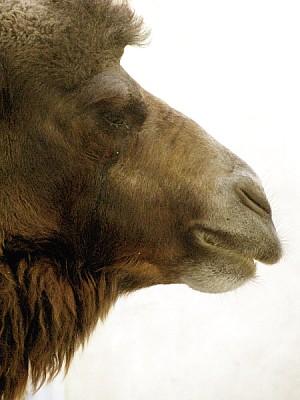 imágenes gratis animal,animales,fauna,salvaje,camello,dromedario,v