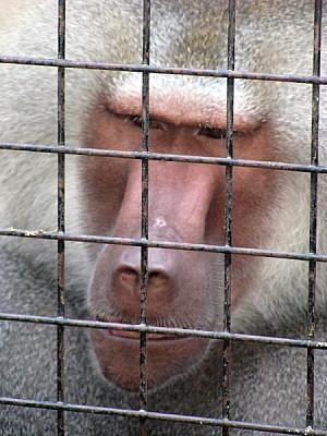 animal,animales,primer plano,vista de frente,mono,