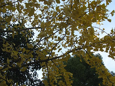imágenes gratis hoja,hojas,primer plano,otoño,arbol,arboles,fondo,