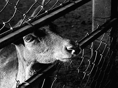 imágenes gratis blanco y negro,animal,animales,granja,granjas,vist