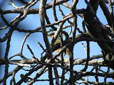 imágenes gratis ave,aves,pajaro,pajaros,gorrion,rama,ramas,escondi