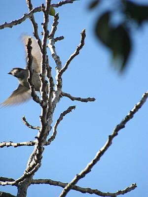 ave,aves,pajaro,pajaros,gorrion,rama,ramas,volando