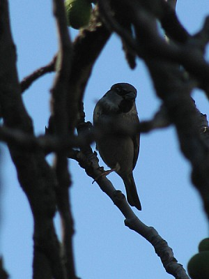 ave,aves,pajaro,pajaros,gorrion,rama,ramas,escondi