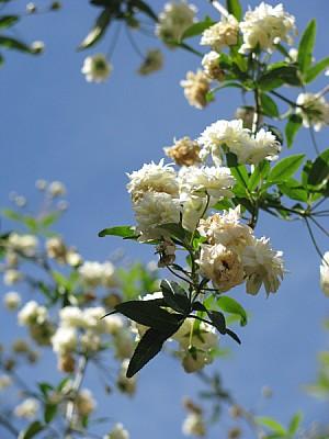 prod06,flor,flores,naturaleza,blanco,blanca,primer