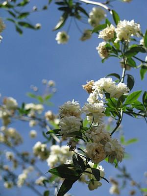 imágenes gratis prod06,flor,flores,naturaleza,blanco,blanca,primer