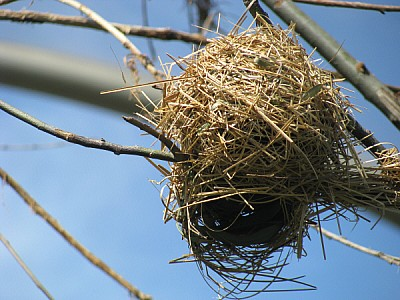 imágenes gratis prod06,naturaleza,ave,aves,pajaro,pajaros,nido,nid