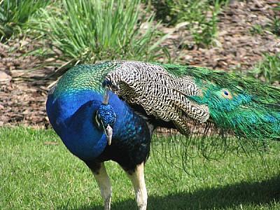 imágenes gratis prod06,Ave,Aves,Azul,Colorido,Cristatus,Faisán,Gal