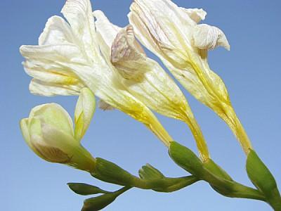 prod06,flor,flores,florido,blanco,blanca,lirio,lir