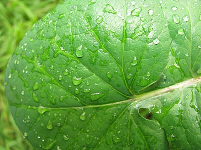 imágenes gratis prod06,hoja,hojas,verde,naturaleza,agua,gota,gotas