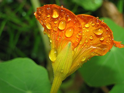 flor naranja con gotas de agua