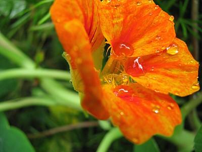imágenes gratis Gotas de agua sobre petalos de una flor naranja